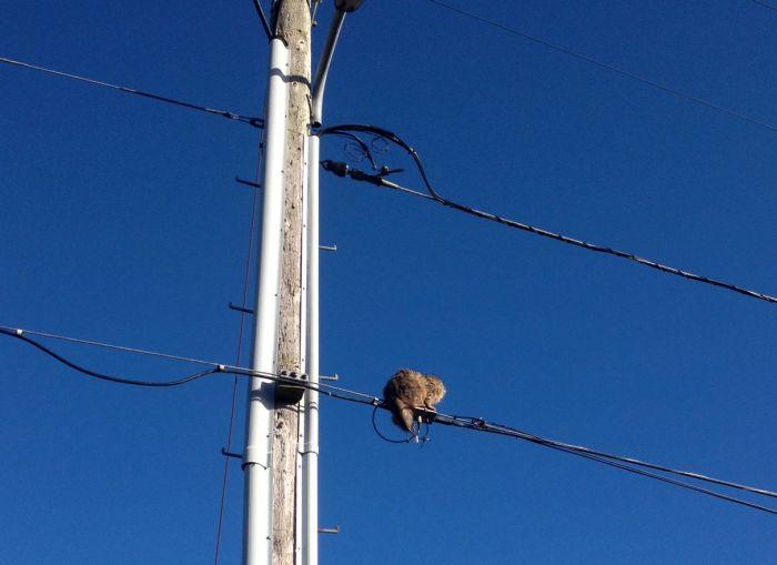 Cool Cara Kucing Tersangkut Pada Kabel Elektrik Ini