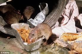 virus kencing tikus