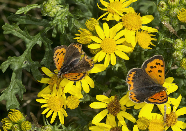 Two Small Coppers, Lycaena phlaeas, on Ragwort, Senecio jacobaea.  Knole Park, 22 September 2012.