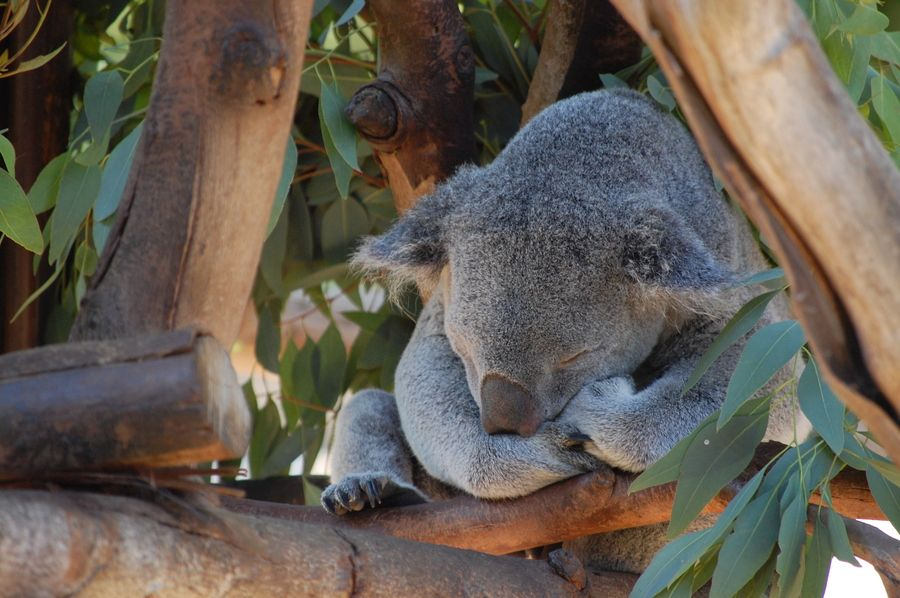 28. Koala by Candice Dunlap Miller