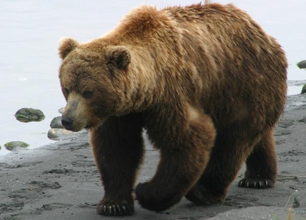 Brown Bear Animal Wildlife