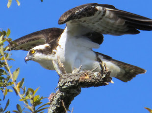 Osprey at Magnolia Cemetery