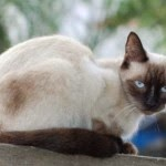 7 Health Problems in Cats Siamese - Tips to Maintain Animals Cats