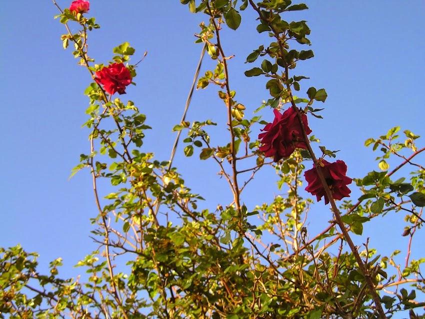 Roses en hiver