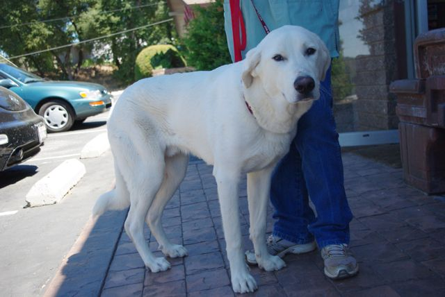 Large Breed Dog Rescue Northern California