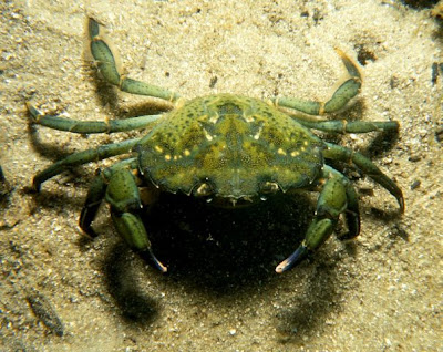 Europe Green Crab