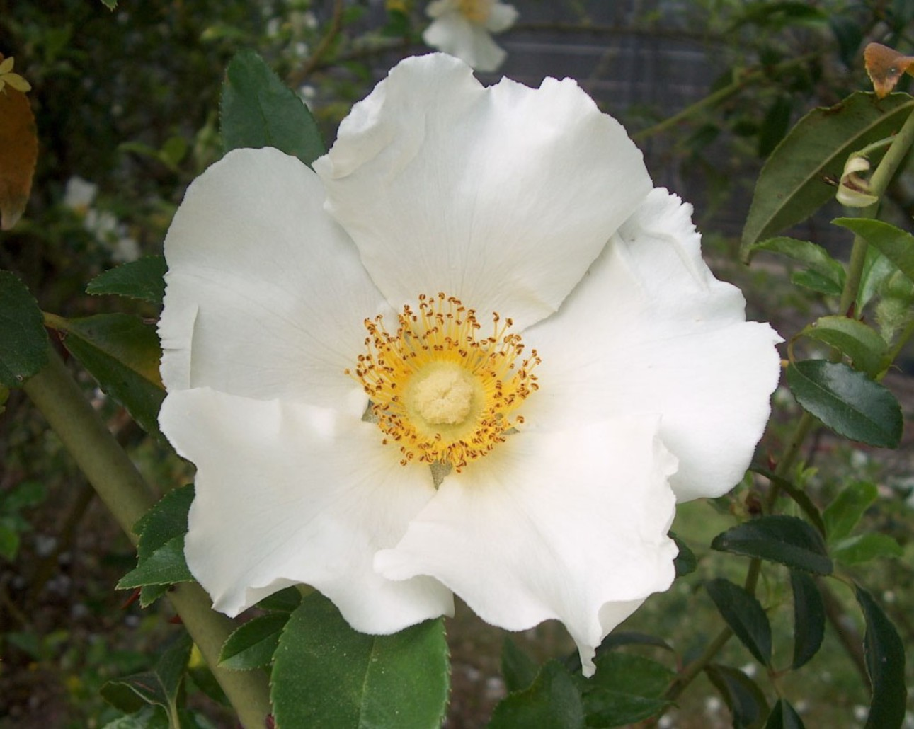 flower photos cherokee rose