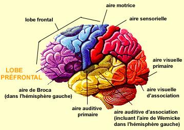 Centre dans le cerveau responsable de la sexualité