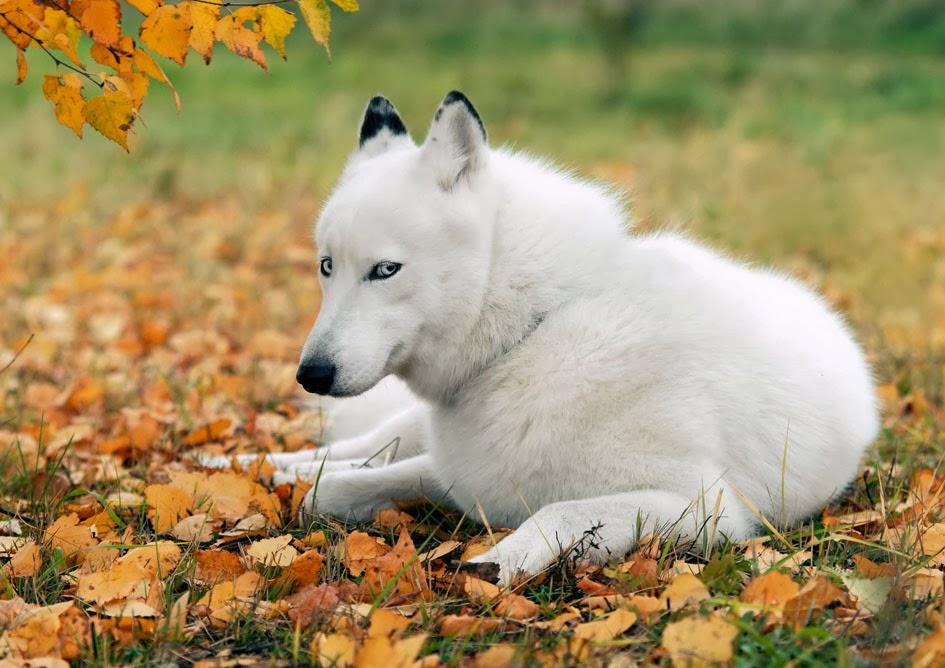 Обои волк хищник белый картинки на рабочий стол фото