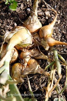 august-in-the-garden-onion