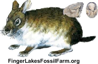 Lagomorpha fosil Palaeolagus
