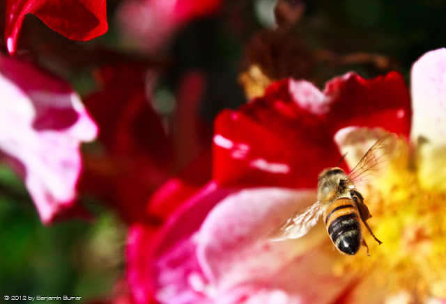 A Honey Bee in Flight