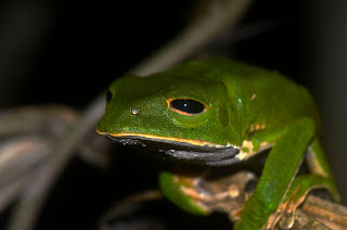 tambopata frog peru amazon
