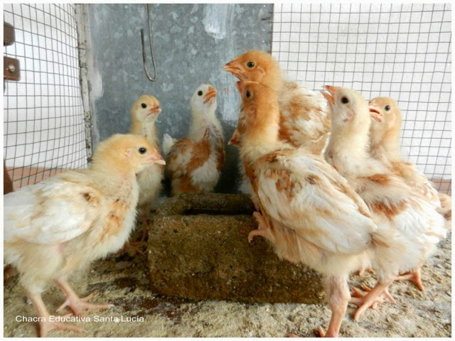 Pollos y pollas - Chacra Educativa Santa Lucía