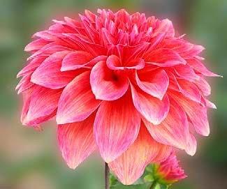 adalah tanaman perdu berumbi yang sifatnya tahunan   Bunga Dahlia dan Cara Perawatan