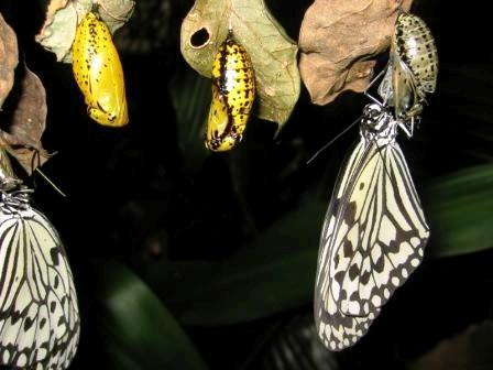 Opening-Butterfly-Cocoon-Opening