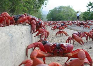 caranguejos vermelhos cruzando a estrada
