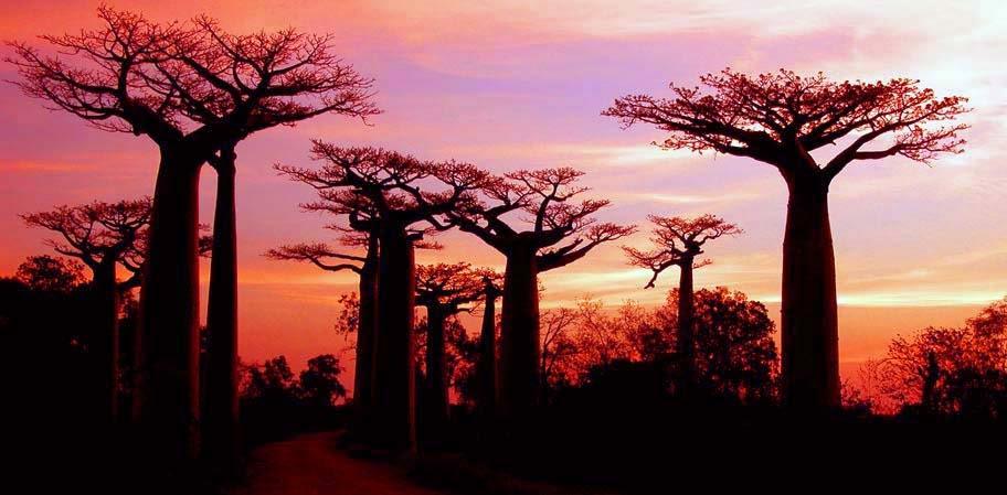 Rừng cây baobab ở Madagascar