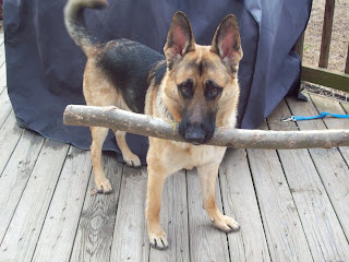 german shepherd dog puppies pupy pets dogs photo