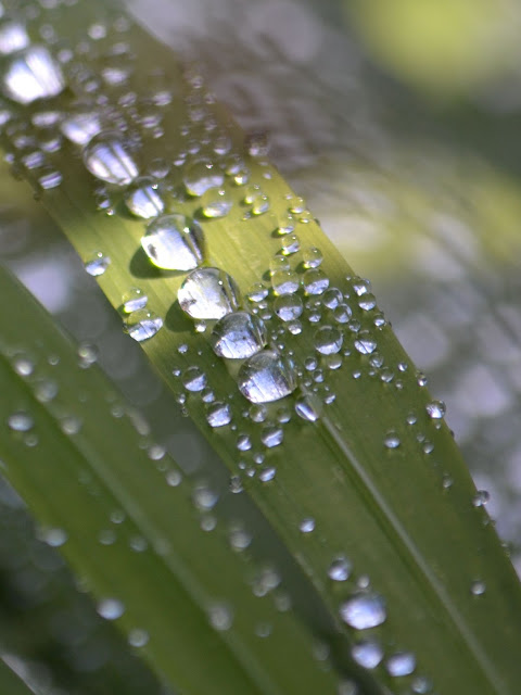 photo of dew on leaves on the Oregon Coast by Nancy Zavada