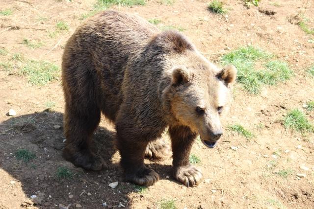 brown bear whipsnade
