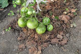 Кисть помидоров лежит на мульче
