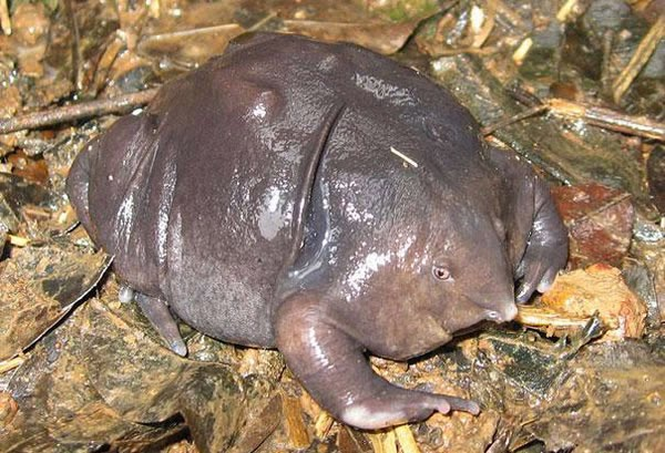 Animals You May Not Have Known Existed - Indian Purple Frog