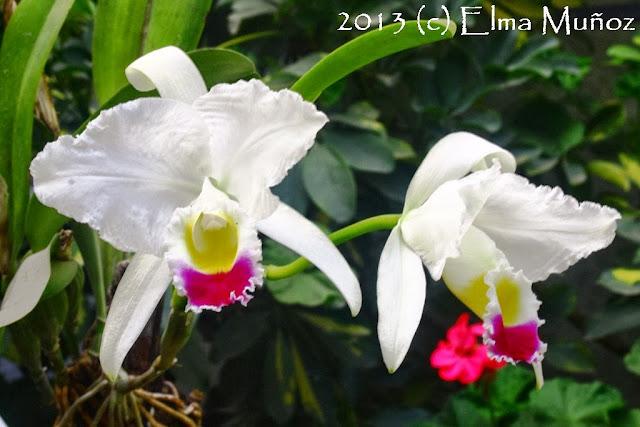 Cattleya trianae. Orquideas del Peru
