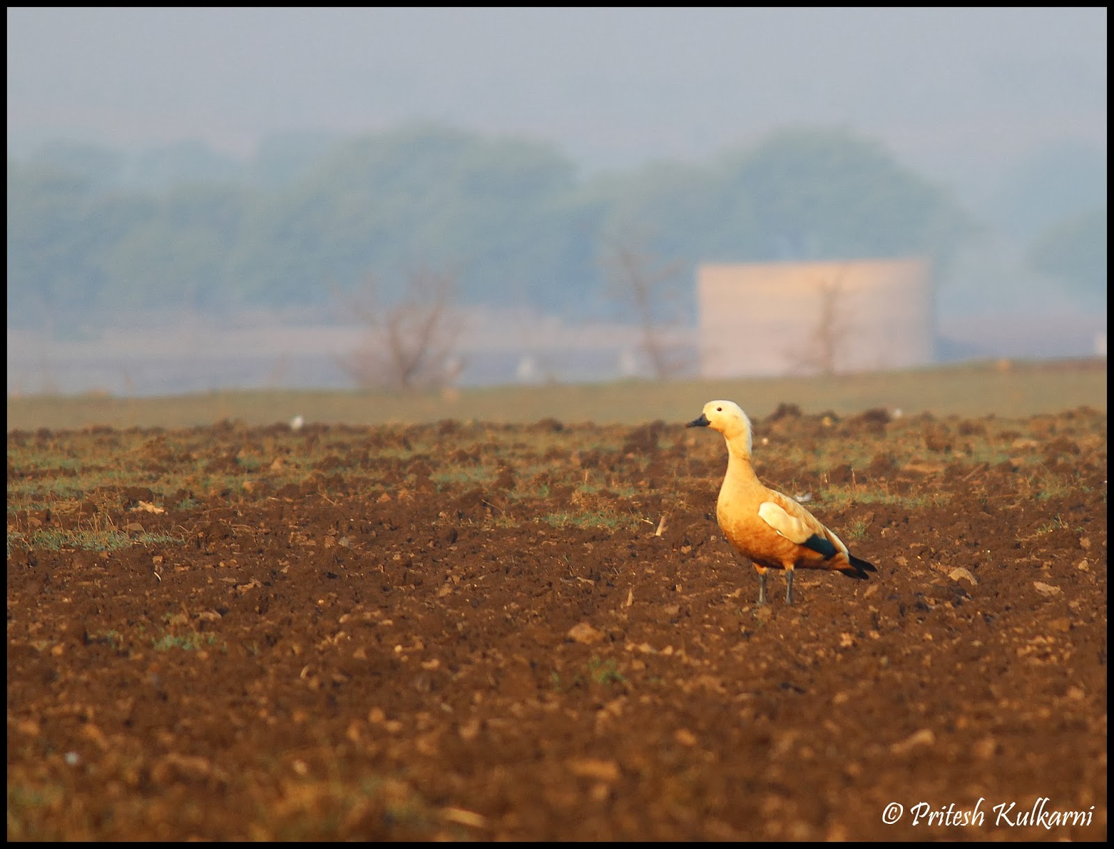 Ruddy shelduck a.k.a Brahmin Duck