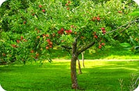 http://indonesian-herbal-medicine.blogspot.com/2014/11/apples-for-curing-disease.html