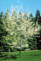 Autumn Brilliance Serviceberry Tree