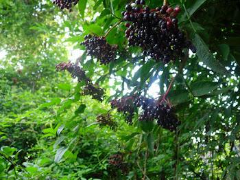 Fruits de Saüc en plena maduració