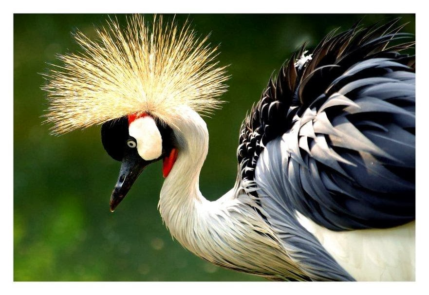 African Crowned Crane Birds