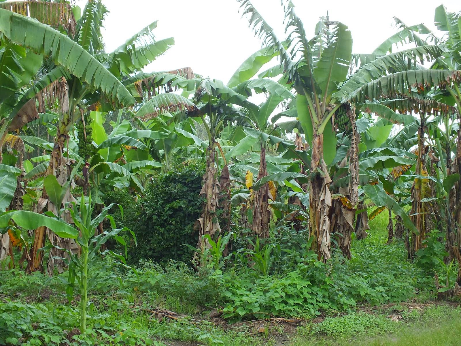 Planten En Bomen : Bomen en planten in kagera tanzania treeseedz