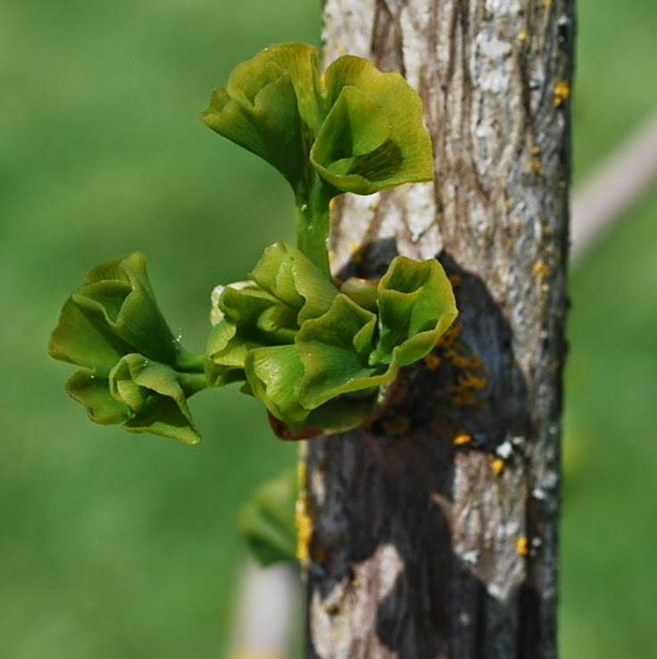 how to grow ginkgo biloba from cuttings