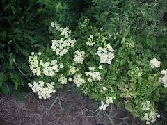 ...Feverfew