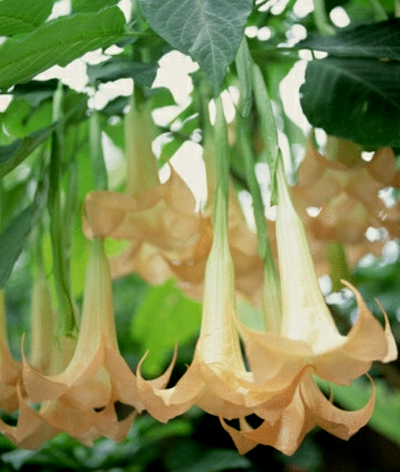 Angel Trumpet Flower on Angel S Trumpet Angel S Trumpet If You Want Something