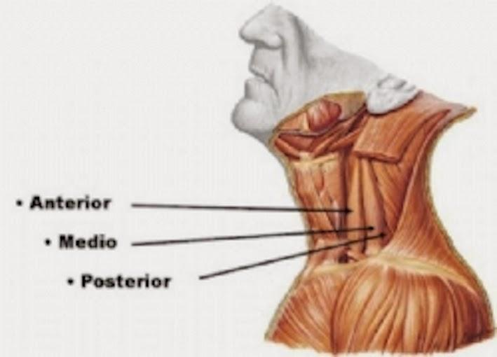 Morfofunción: Cabeza y cuello: Músculos Escalenos