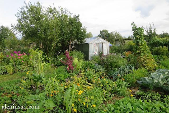 сад в августе, клумбы, рудбекия, гелениум, розы, гладиолусы, аленин сад, огород, теплица, кукуруза, флоксы, фасоль, опоры-пирамиды, календула