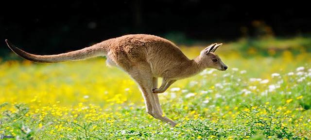 El canguro, un mamifero, y la zoologia