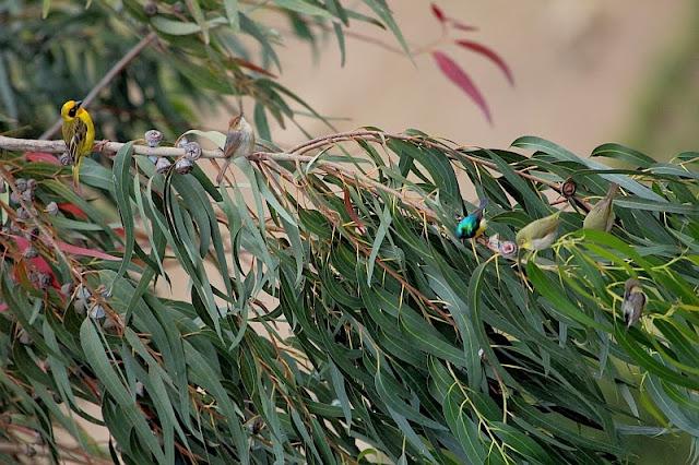 Flock of birds in Ethiopian eucalyptus forests