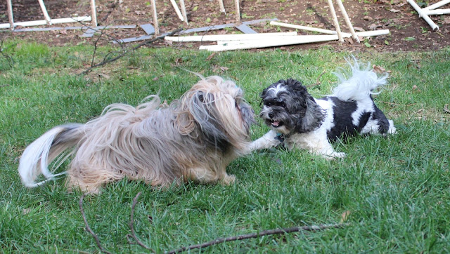 Rocco Havanese back yard play with dogs