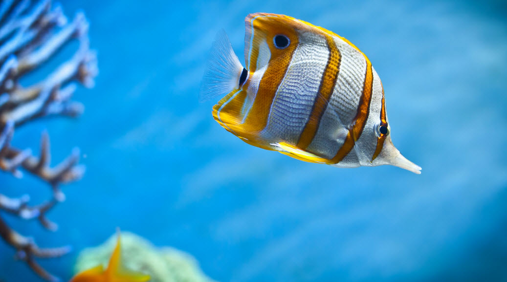 Butterfly fish the biggest animals kingdom for Yellow tropical fish