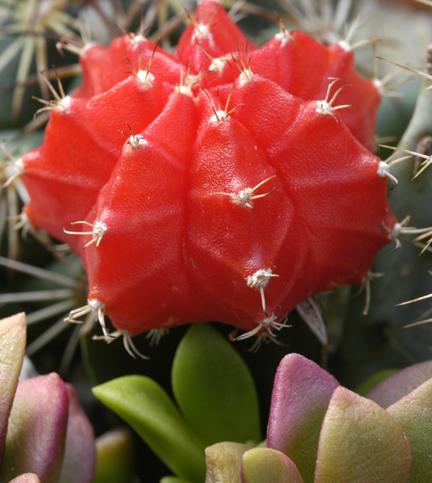 Entre p talos y espinas c mo realizar injertos de cactus for Cactus variedades
