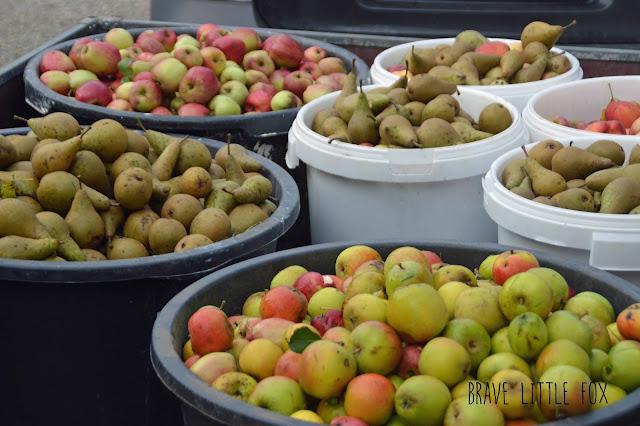 Apfelbäume schütteln