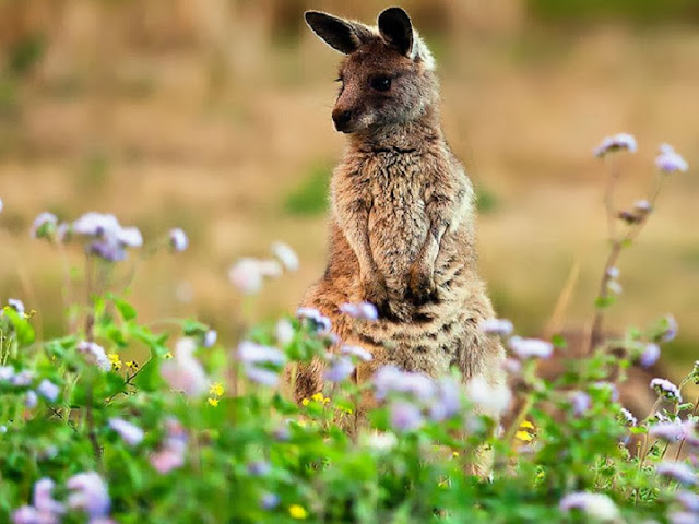 "<img src=""http://1.bp.blogspot.com/-6iCl7thygsE/Uq9i3-tsGXI/AAAAAAAAFzU/4pR3Sz89vKw/s1600/yrr.jpeg"" alt=""Kangaroos Animal wallpapers"" />"