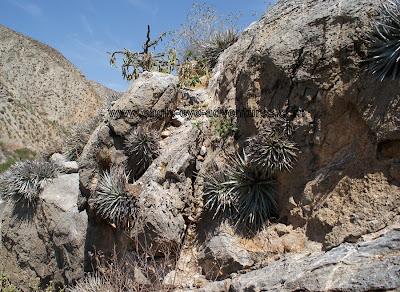 Hechtia zamudioi habitat