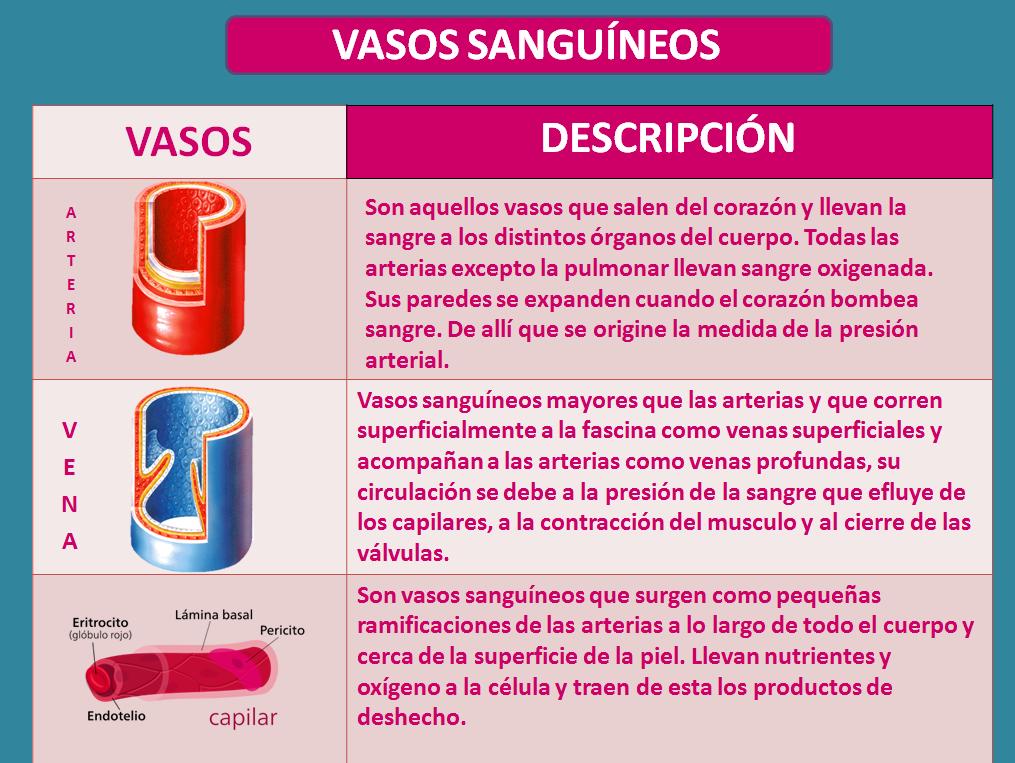 Blog de Fisiología, UAS, Valeria Medel García : VASOS SANGUÍNEOS