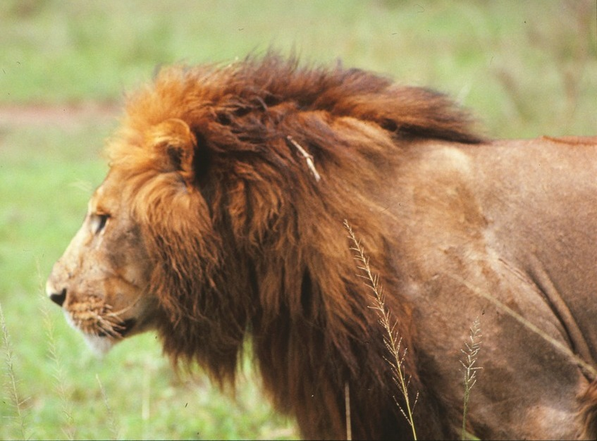 Lion Side Face