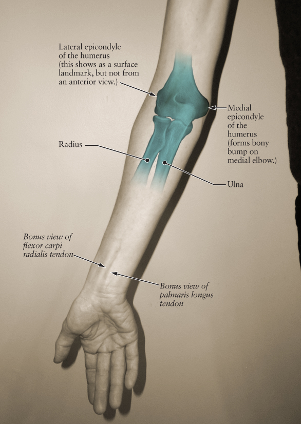 Human Anatomy for the Artist: The Elbow Joint, Part 1: Anterior View ...